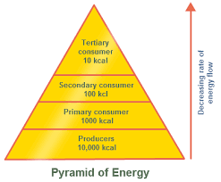 ecological pyramid   pyramid of numbers with diagram   biology    pyramid of energy
