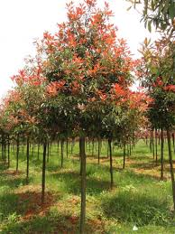 FRUIT TREES  Small Orchard  Pear Apple Cherry Plum Peach And Red Leaf Fruit Tree