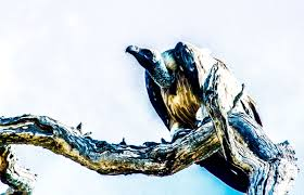Vulture by Myrna Gordon-Covelli | Vulture, Sea life, Photo