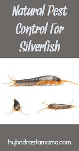 How To Get Rid Of Silverfish For Good Hybrid Rasta Mamas Posts