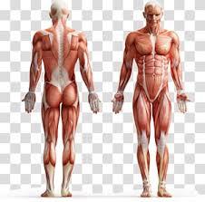 Internal Organs Of The Human Body Anatomical Chart Anatomy