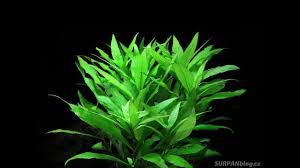 hygrophila costata guyanensis lacustris glush weed aquarium plant fullhd
