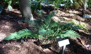 File:Zamia pumila (Zamia integrifolia) - Zilker Botanical Garden - Austin,  Texas - DSC08985.jpg - Wikimedia Commons