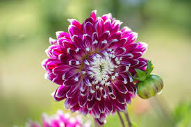 15 flowering plants with large blossoms