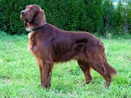 English Setter Weight Chart Irish Setter Wikipedia