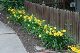 Image result for happy returns daylily