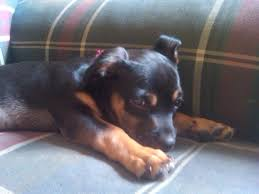 black and brown terrier mix. Brilliant Black Throughout Black And Brown Terrier Mix