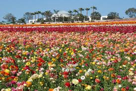 amazing flower garden carlsbad the flower fields at carlsbad ranch visit carlsbad