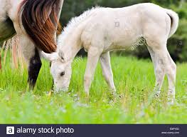 white baby horses playing. Delighful Playing White Foal Graze Near The Mother In Lawn Of Thailand  Stock Image On Baby Horses Playing