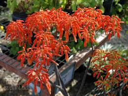 the bright orange flowers of soap aloe aloe maculata blooms year round outside in gardens in zones 9 11 and is a favorite of hummingbirds