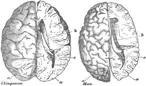 file chimpanzee and human brain scaled to the same size thomas  file chimpanzee and human brain scaled to the same size thomas henry huxley png