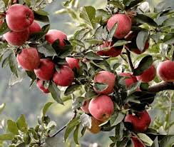 Fruit Trees That Grow Well In Minnesota  Fruit Trees Minnesota Homemade Spray For Fruit Trees