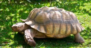 African Sulcata Tortoise Geochelone Sulcata Species