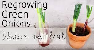 Kitchen Scrap Gardening How To Regrow Green Onions From Scraps Water Vs Soil Garden