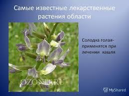 Презентация на тему Лекарственные и редкие растения Оренбургской  4 Самые известные лекарственные растения области Солодка голая применятся при лечении кашля