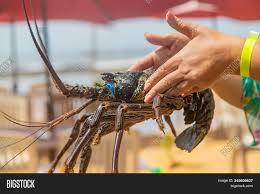 Live Big Lobster Hands Image & Photo ...