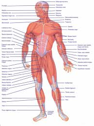 Muscles often contract to hold the body still or in a particular position rather than to cause. Diagram Of All Muscles In The Human Body Diagram Of All Muscles In The Human Body Human Body Diagram Alicia Reagan