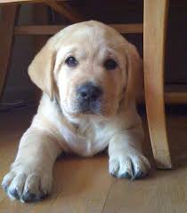 english yellow lab puppies. Delighful Yellow CR Labradoru0027s  English Labrador Breeder All Breed Boarding And  Training Breeders Inside Yellow Lab Puppies L