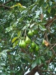 Best 25 Espalier Fruit Trees Ideas On Pinterest  Fruit Trees Do All Pear Trees Bear Fruit