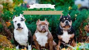 American Bulldog Height Chart Here Comes The American Bully Certapet
