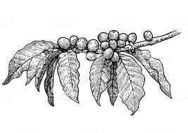 coffee plant illustration vector. Modren Coffee Coffee Plant Illustration Drawing Engraving Ink Line Art Vector  Royalty With Plant Illustration Vector