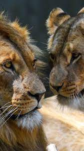 Wallpaper Love, lion and lioness ...