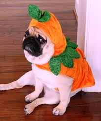 pug in pumpkin costume.  Costume Ming Loves Pumpkin But She Doesnu0027t Want To Be One With Pug In Pumpkin Costume