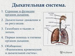 Презентация на тему Дыхательная система Строение и функции  Дыхательная система 1 Строение и функции органов дыхания 2 Дыхательные движения и