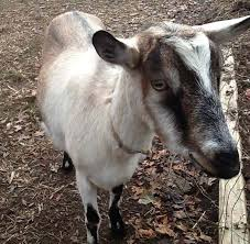 Best Goat Breeds For Milk Production Funny Goats