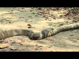 king cobra snake eating. Modren Snake King Cobra Eat Another Snake Throughout Cobra Snake Eating