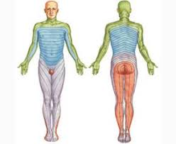 Курсовая работа Классический массаж как метод физической  1 1 4 Воздействие массажа на мышцы