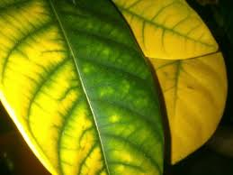 Resultado de imagen de Clorosis férrica plantas