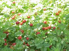 Duchesnea indica Mock Strawberry, Indian strawberry PFAF Plant ...
