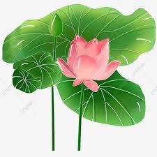 летний цветущий цветок лотоса летний лотос лист лотоса цветущий