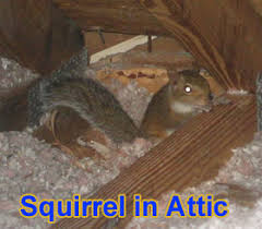 squirrel in ceiling. Delighful Squirrel On Squirrel In Ceiling R