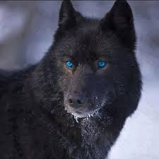 black wolf with blue eyes wallpaper. Unique With Amazing Wolves Images Black Wolf Wblue Eyes U003c3 Wallpaper And Background  Photos Inside Wolf With Blue Eyes Wallpaper A