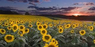august is here and wisconsin s sunflowers are all grown up and ready to share their beautiful bursts of brightness with the world