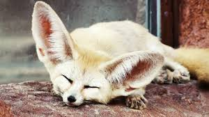 fennec fox. Delighful Fox Absurd Creatures The Fennec Fox Is So Cute I Think Might Literally Die For N