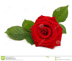 single red rose flower. Wonderful Rose Single Red Rose Flower With Leaf In Red Rose Flower Z