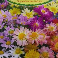 garden mum chrysanthemum indi mix 0 600x600 jpg