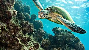 underwater ocean wallpapers. Delighful Wallpapers Turtle Tortoise Underwater Ocean Wallpaper With Wallpapers