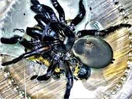 massive this enormous central victorian trapdoor spider was discovered at miners rest recently