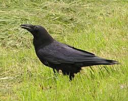 Crow Vending Machine Plans Unique Tokyo Crow Who Tried To Buy A Train Ticket Gets Illegally Captured