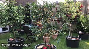best dwarf fruit trees to grow in a