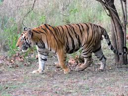 Tiger Vs Jack Chart Bengal Tiger Wikipedia