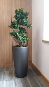 office bonsai tree. Ficus Bonsai Tree Located In The Corner Of A Directors Office Colehill West Midlands