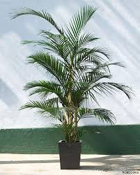 View in gallery Potted areca palm plant
