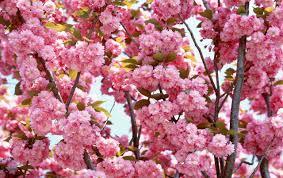 wide pink bloom wallpapers