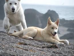 white german shepherd wolf mix puppy.  Puppy White German Shepherd Wolf Mix With Puppy M