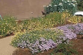 garden ground cover. Wayne Roderick Form Of The Seaside Daisy Plant With Monkey Flowers As A Little Ground Cover Garden E